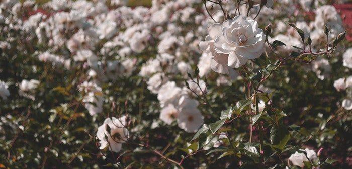Beautiful Shrubs that Will Brighten up Any Garden