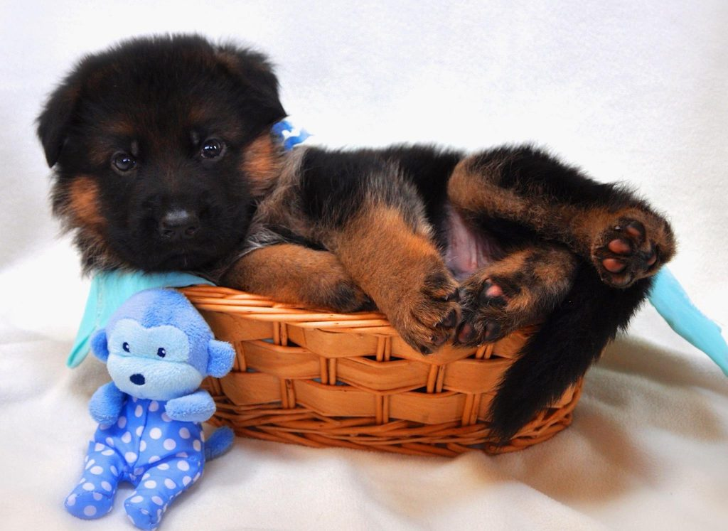 Champion Line German Shepherds and Outstanding Training