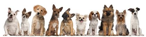 iLeesh dog lineup