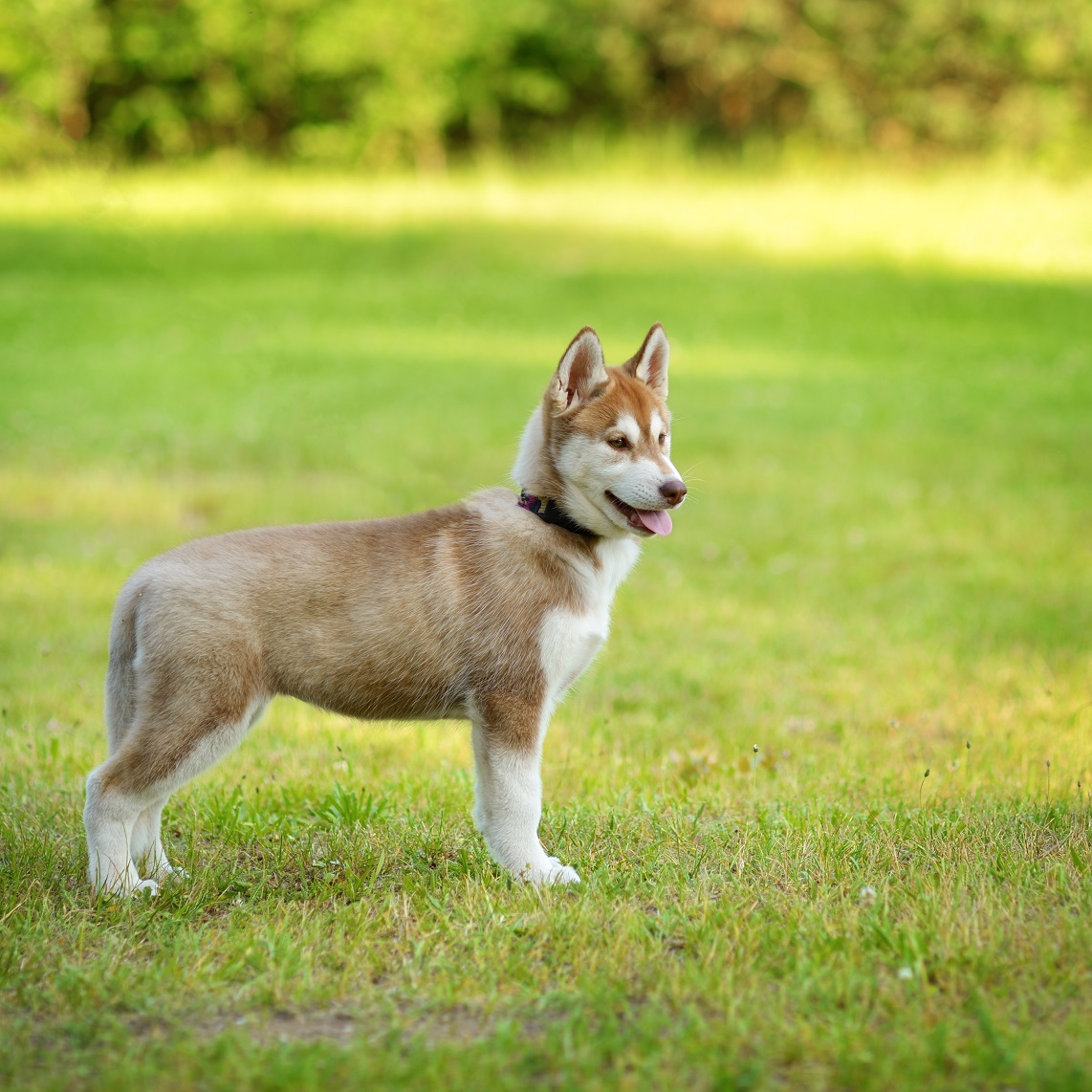 husky puppy in yard