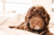 XO Comfort Dog